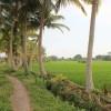 Ein Spaziergang durch die Reisfelder in Ubud