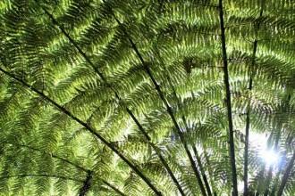 Baumfarn in Neuseeland