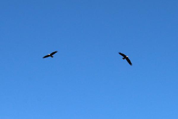 Bald Eagles Adler BC Kanada