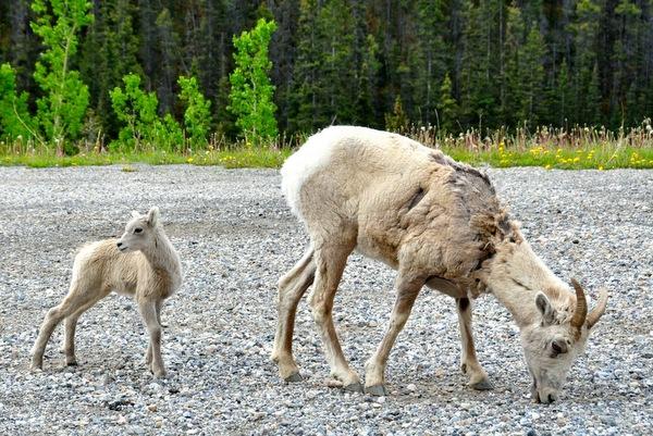 Mountain Bighorn Sheep Banff Nationalpark