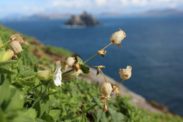 Blumen Skellig Michael