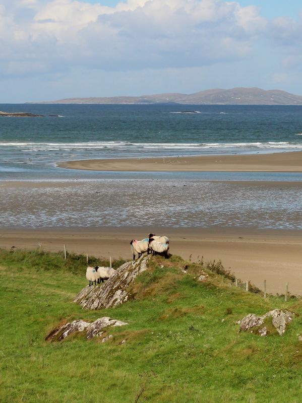 Schafe Meer Westküste Irland Connemara