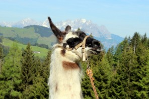 Lama Trekking in Tirol