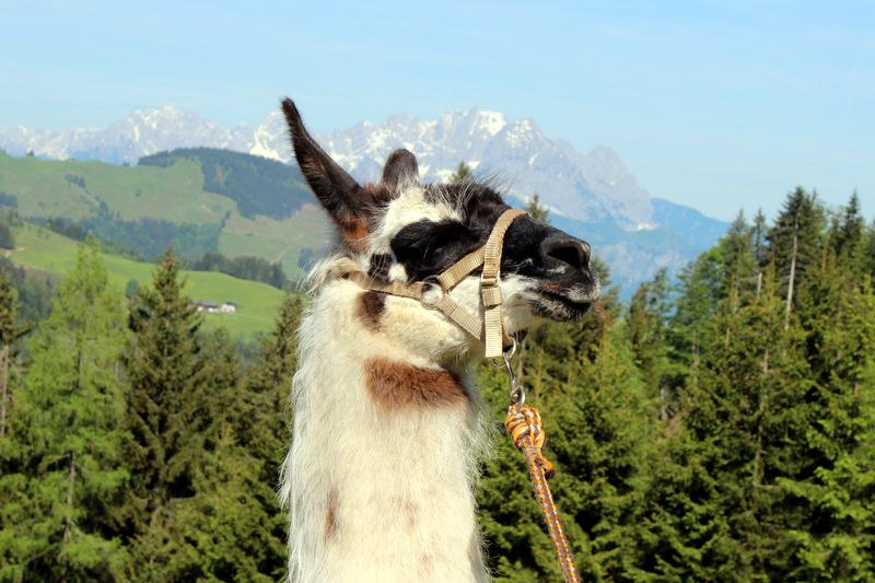 Sommerreisen - Lama-Trekking in Tirol