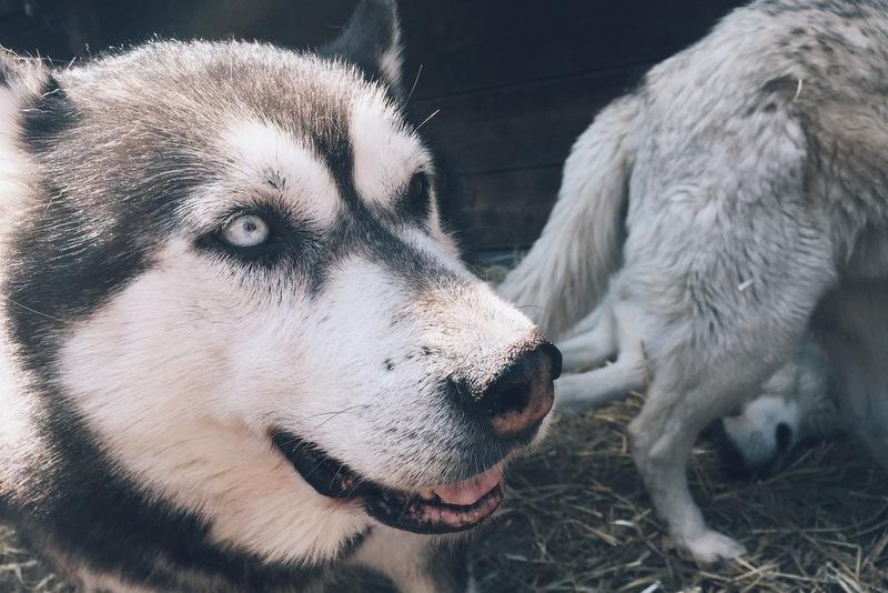 Huskys in Tirol