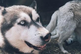 Huskys Schlittenhunde Österreich