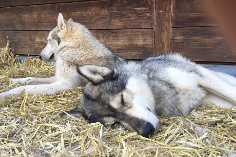Schlittenhunde Husky Ranch Angerberg