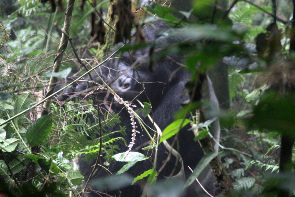 Silverback Berggorilla Tracking Uganda Habinyanja Bwindi