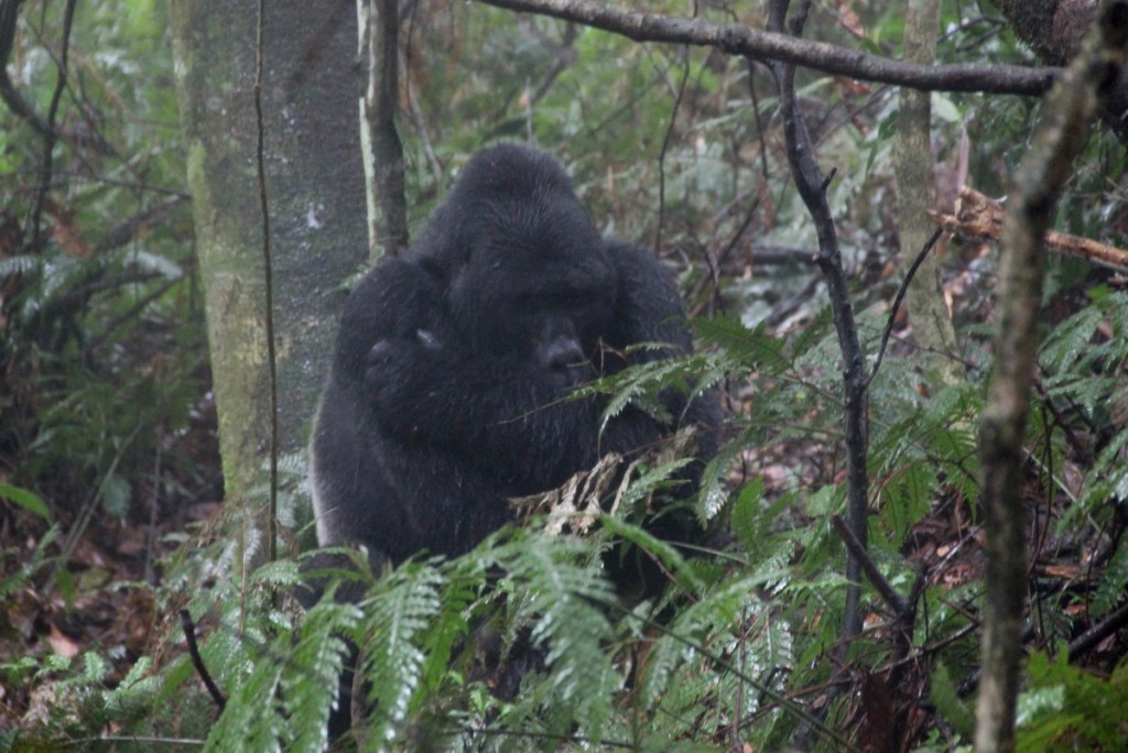 Berggorilla Trekking Uganda Bwindi Silberrücken