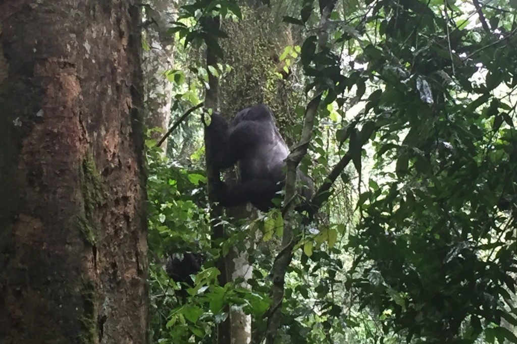 Silverback im Baum Berggorilla Uganda