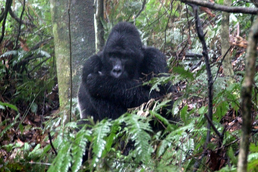 gorilla trekking uganda bwindi silberrücken berggorilla