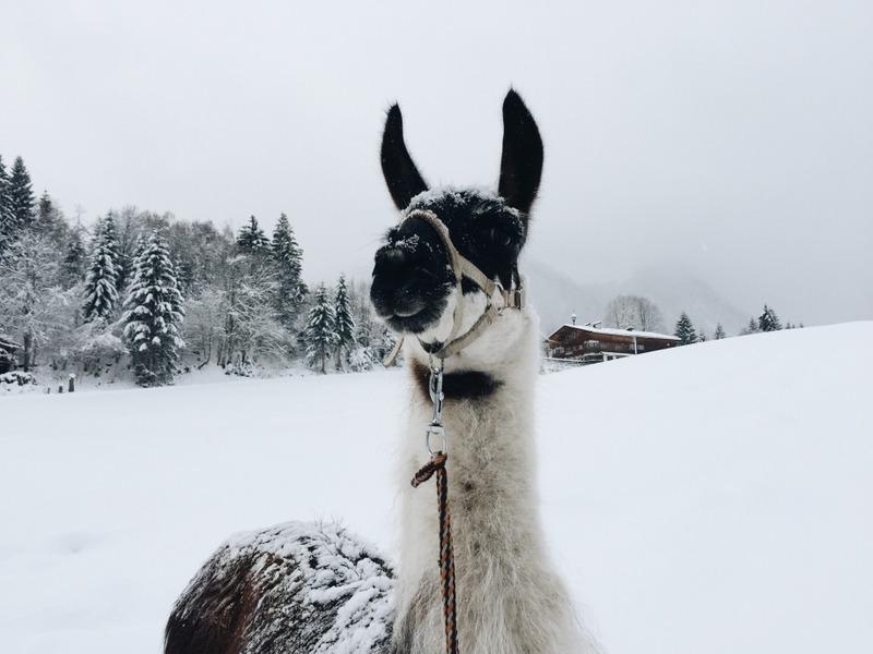 Lama Trekking Tirol Oesterreich