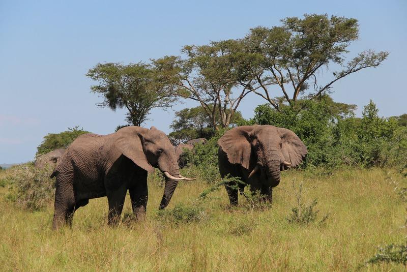 Afrikanische Elefanten Ishasha Uganda