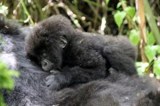 Berggorilla Baby Gorilla Tracking