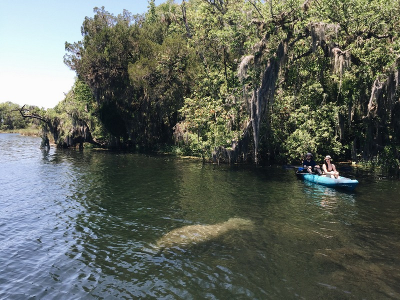Crystal River Schwimmen mit Manatees Florida