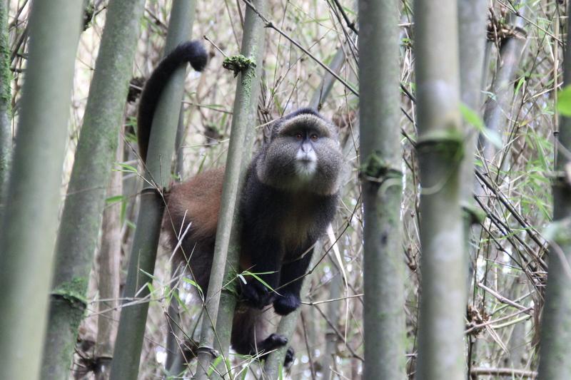 Golden Monkey Uganda Mgahinga