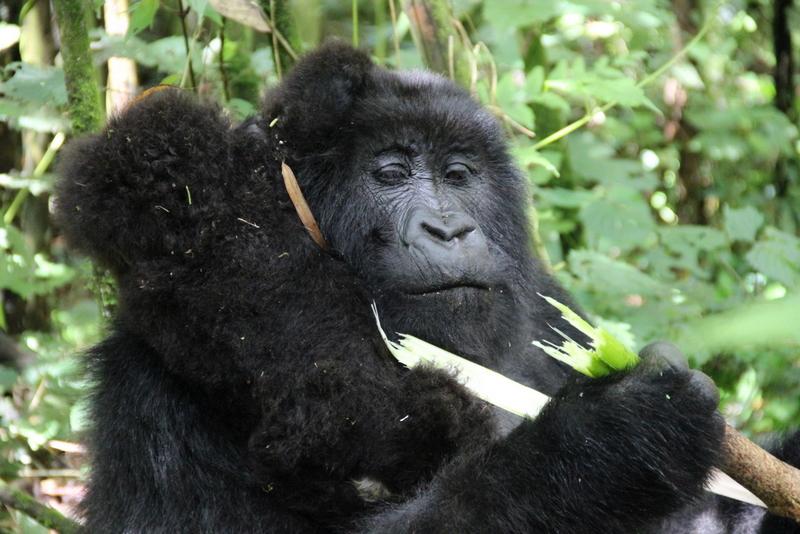 Gorilla Mama mit Baby