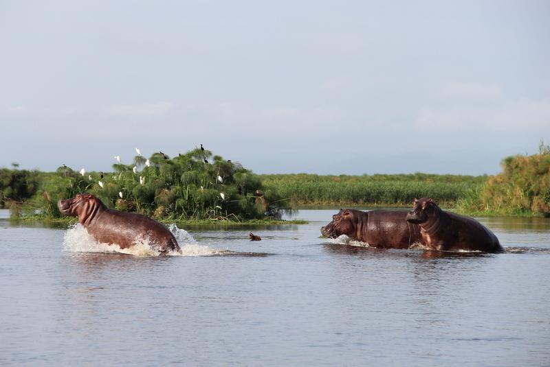 Nilpferde Nil Murchison Falls Uganda