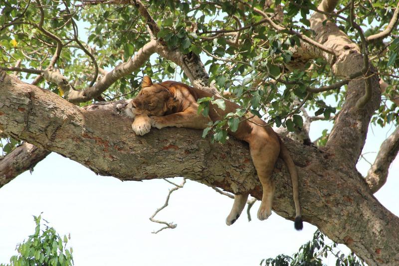Schlafender Loewe Ishasha Uganda