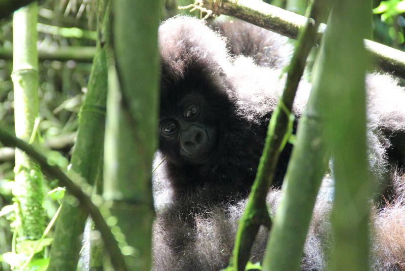 berggorilla-baby-ruanda-sabyinyo