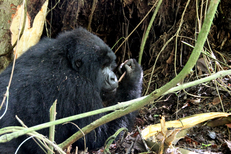 berggorilla-tracking-ruanda