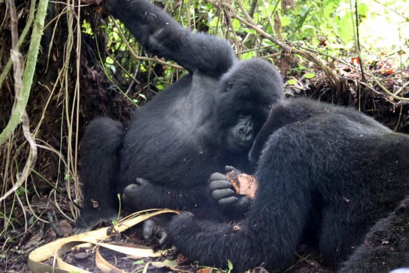 blackbacks-gorillas-ruanda
