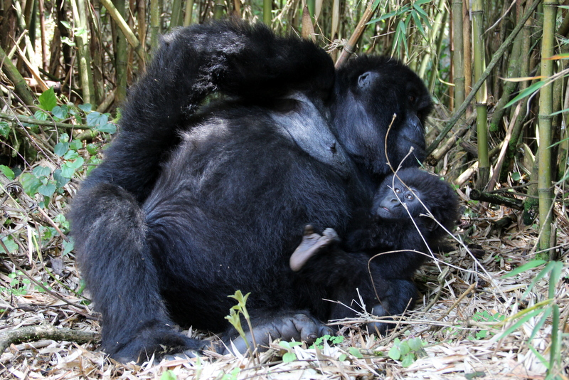 gorilla-mutter-mit-baby-volcanoes-ruanda