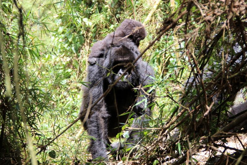 gorilla-tracking-ruanda-dian-fossey