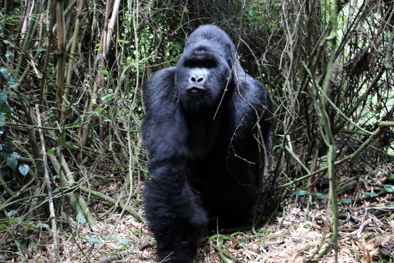 gorilla-trekking-ruanda-guhonda-silberruecken