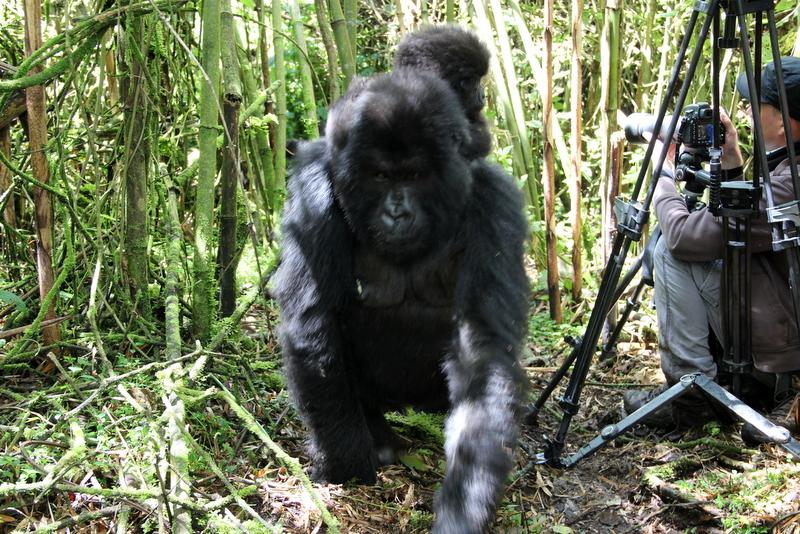 gorilla-trekking-ruanda-reisebericht