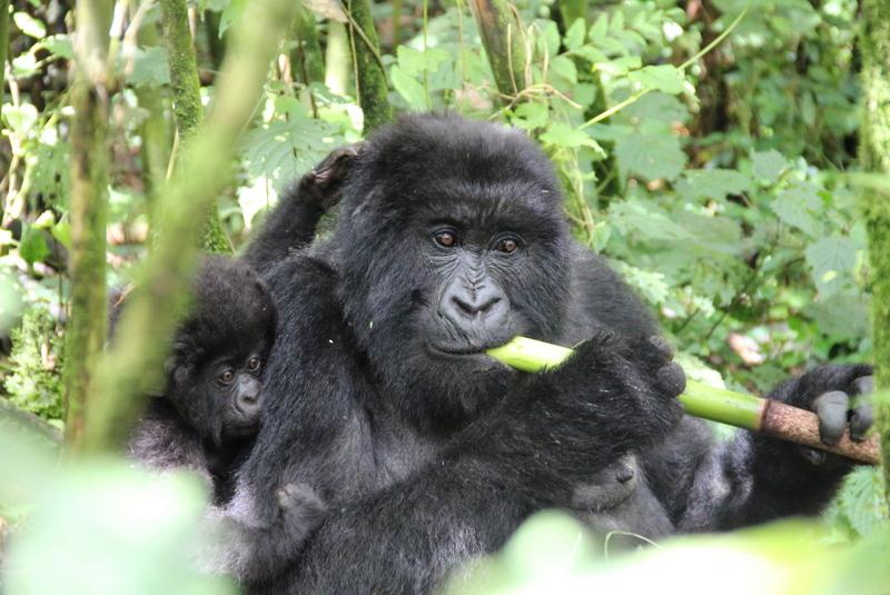 gorilla-trekking-volcanoes-ruanda-mutter-kind-fressen