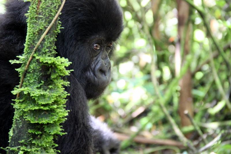 gorillas-ruanda