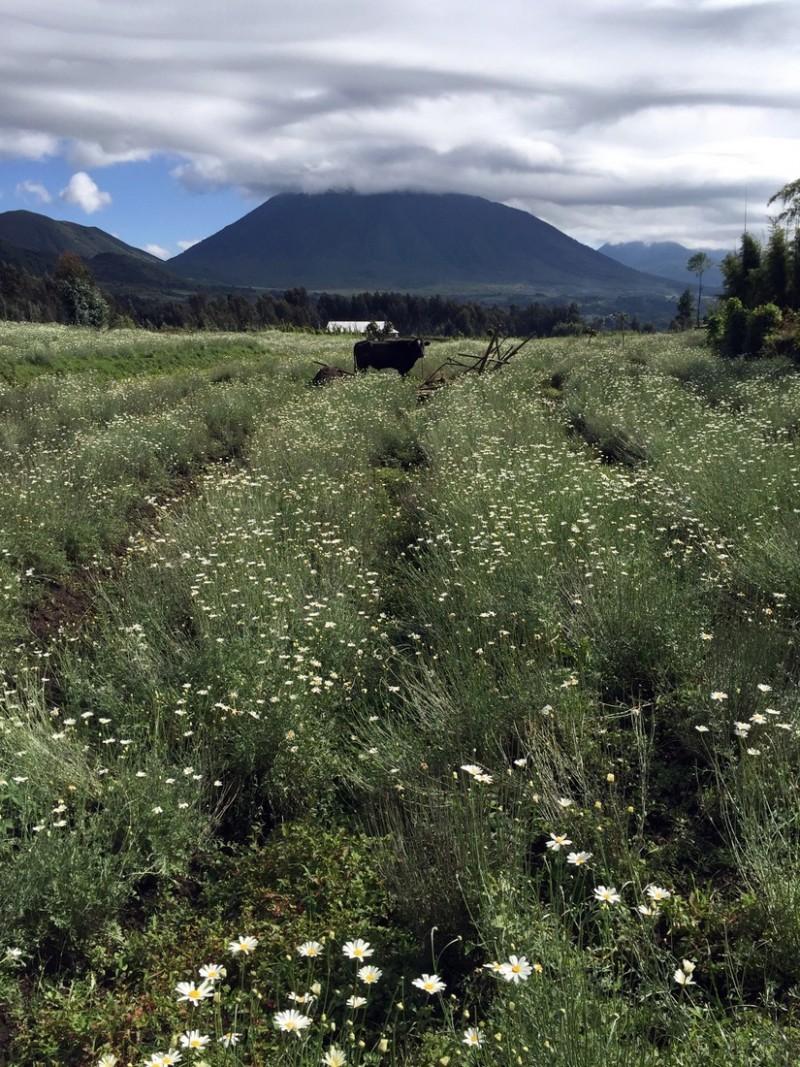 pyrethrum-blumen-volcanoes-nationalpark-ruanda