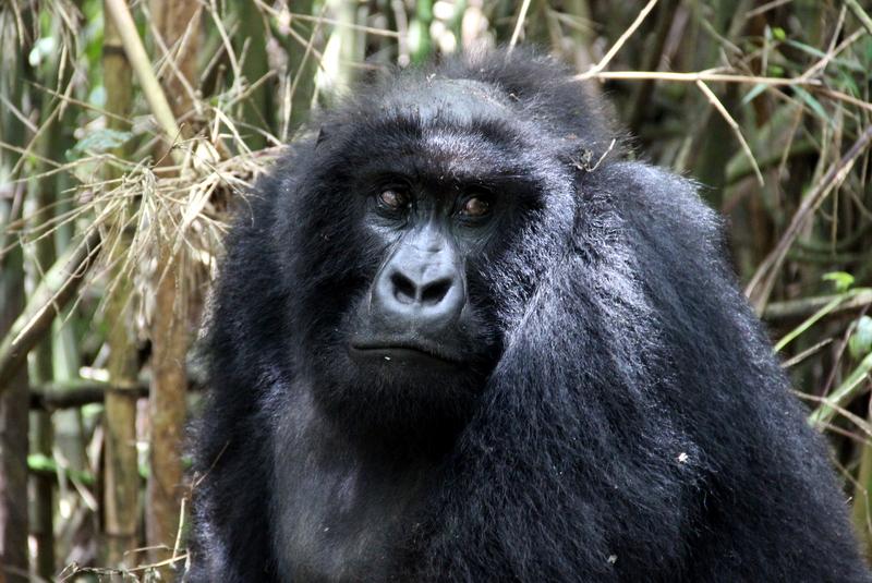 sabyinyo-gorilla-group-ruanda