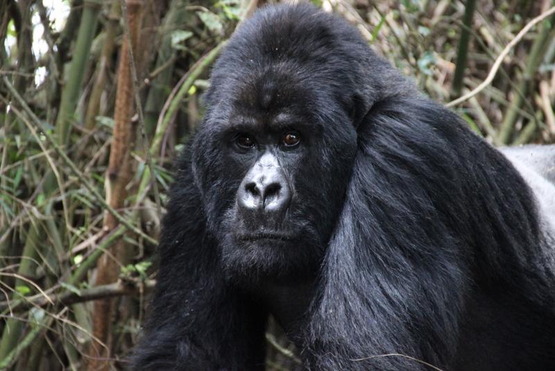 silberruecken-gorilla-trekking-ruanda