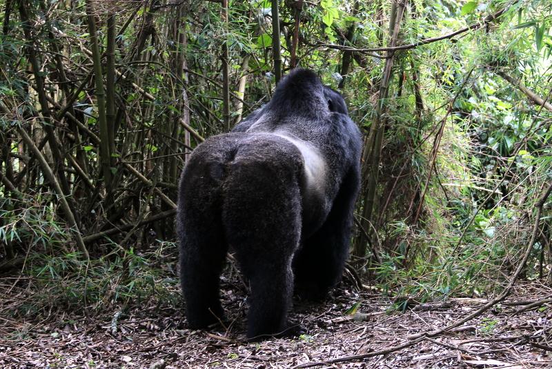 silverback-gorilla-trekking-ruanda-guhonda