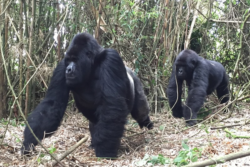 Ruanda Gorilla Trekking Silberrücken Sabyinyo Gruppe Volcanoes Nationalpark Safari