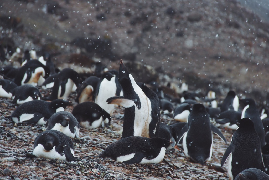 Antarktis Brown Bluff Adeliepinguine