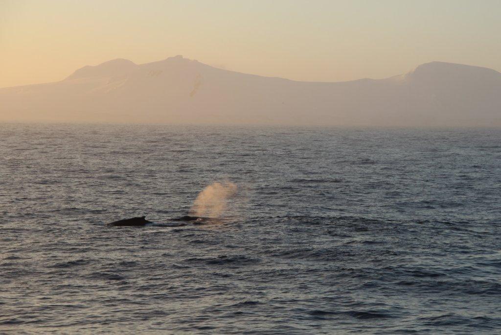 Buckelwale Antarktis