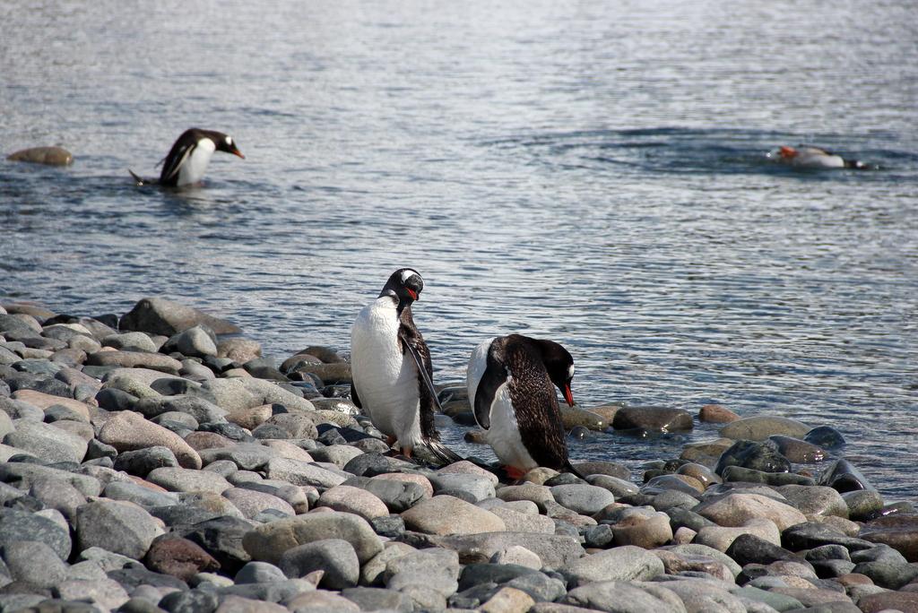 Cuverville Island Eselspinguine Antarktis
