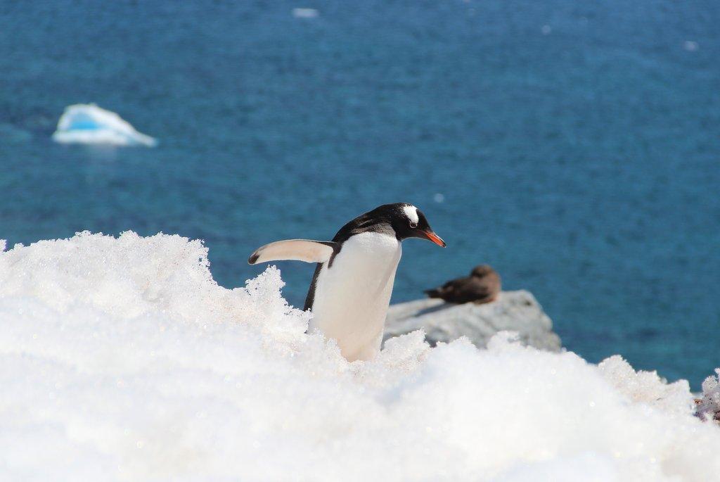 Eselspinguin Antarktis Landgang Orne Harbour