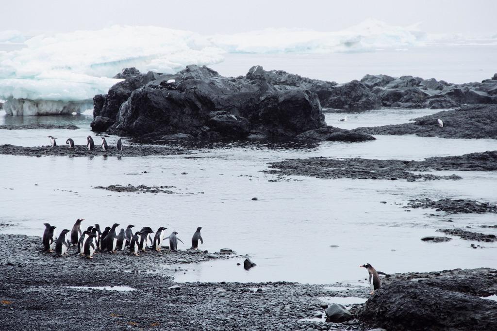Eselspinguin Kolonie Antarktis Brown Bluff