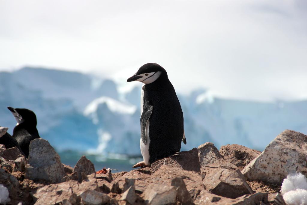Orne Harbour Antarktis Zuegelpinguin