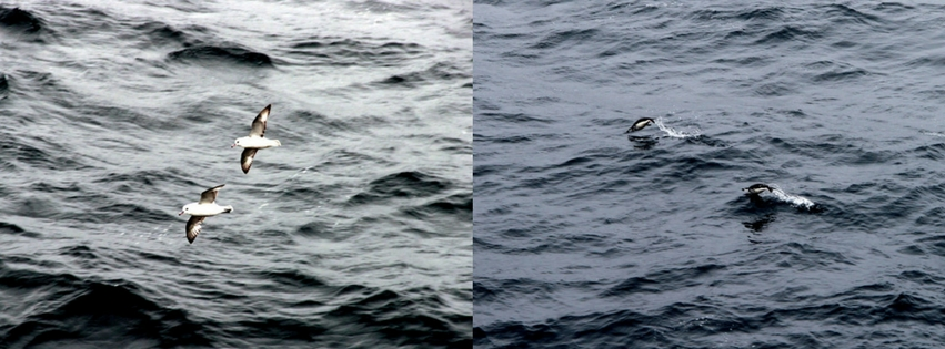 Seevoegel Pinguine Drake Passage Antarktis