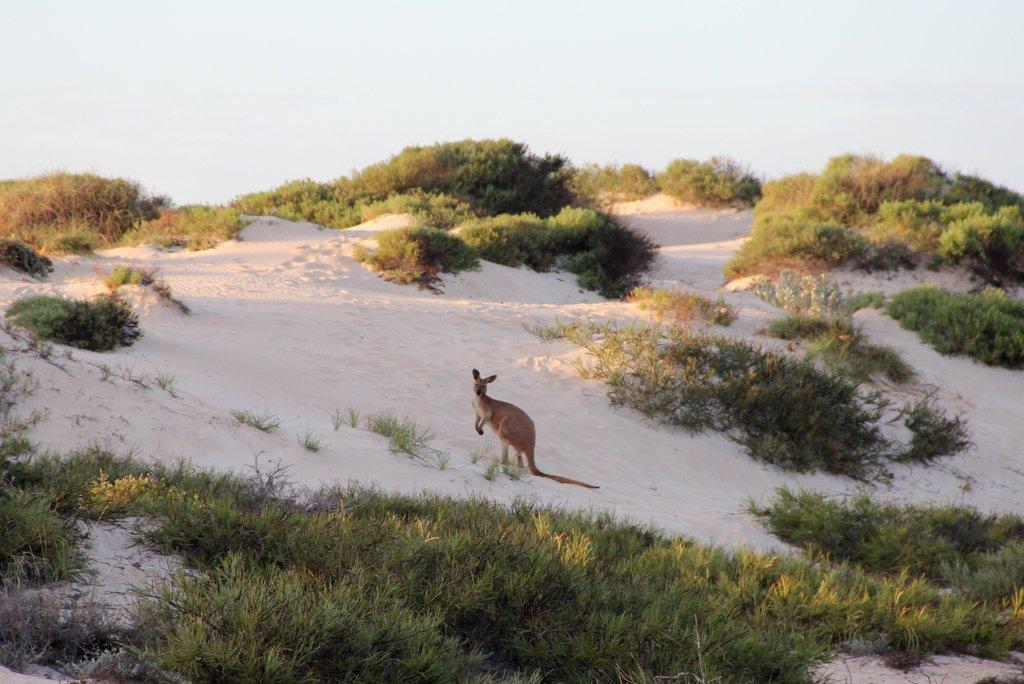 Kaenguru Westaustralien Ningaloo Reef