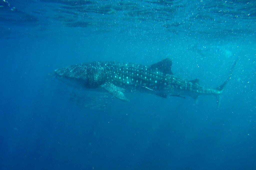 Mit-Walhaien-schwimmen-NIngaloo-Reef-Westaustralien