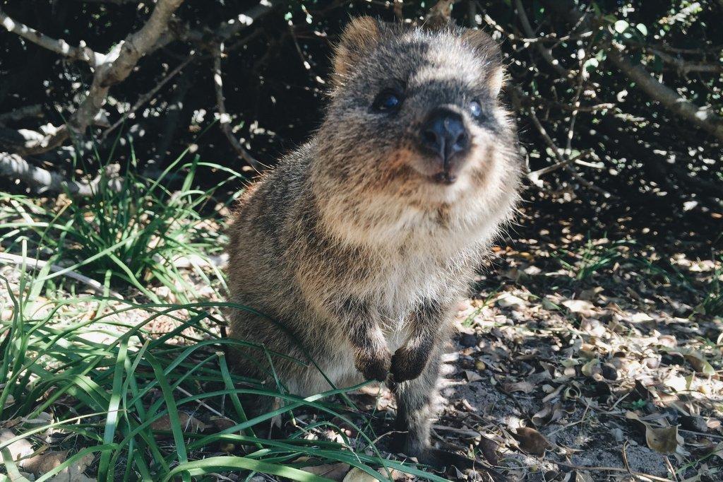 Quokka Perth Australien Rottnest Island