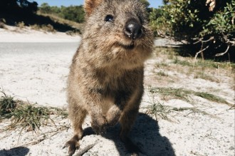 Quokka Rottnest Island Perth