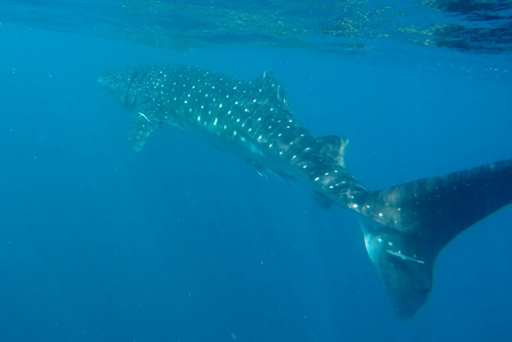 Walhai-Ningaloo-Reef-Westaustralien-Highlight
