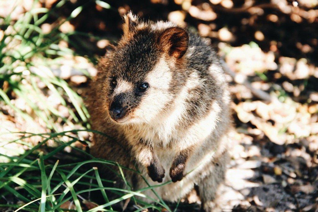Quokka Westaustralien Rottnest Island Must see